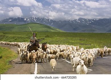 GORIS, ARMENIA - JUNE 16, 2017: Shepherd and his flock of sheep and goat walk on the road, in Goris, Armenia.
