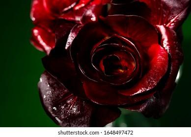 Gorizia, auch bekannt als Rosa di Gorizia, eine wertvolle und teure Sorte italienischen Radicchio, das in der Region Friaul-Julisch Venetien in Italien angebaut wird. Nahaufnahme, selektiver Fokus.