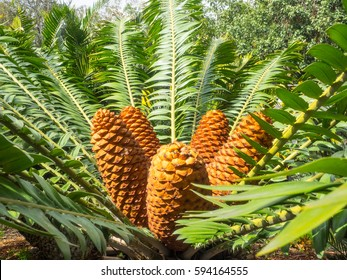 Gorongowe Cycad (Encephalartos manikensis) is a species of cycad that is native to Mozambique and Zimbabwe.