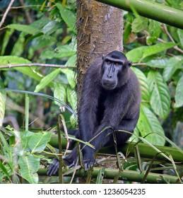 Gorontalo macaque or Dumoga-Bone macaque (Macaca nigrescens)