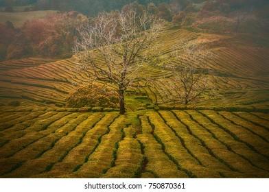 Gorreana tea plantation autumn colours, Azores, Portugal