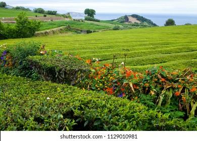 Gorreana Tea Plantation on Sao Miguel Island, Azores, Portugal