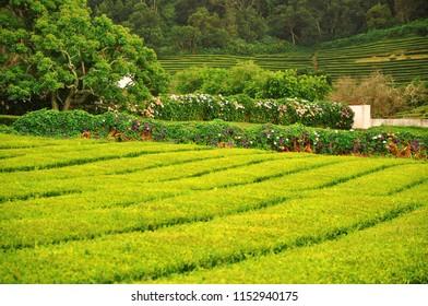 Gorreana Tea Plantation on Sao Miguel island of Azores, Portugal