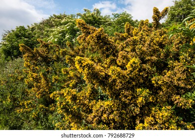 Gorse in bloom. The prickly yellow-flowering gorse shrub or bush (Ulex europaeus) is home to many insects and birds. It is resistant to salt-laden winds and remains evergreen in winter.