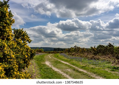 Gorse and bluebells alongside a moorland track