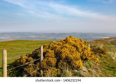 A gorse bush against a fence in the Isle of Wight countryside