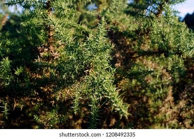 Gorse bush close up - Ulex