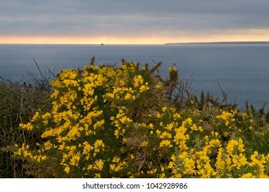 Gorse bush with coastal sunset, Porthleven Cornwall UK.