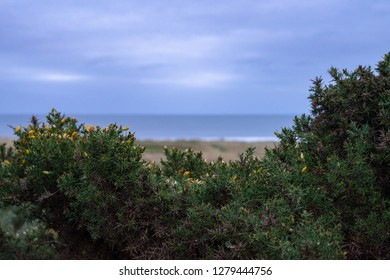 Gorse bush with yellow flower with blurred coast, sea in background on a cloudy overcast day