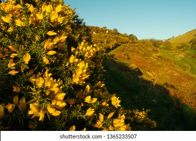 The Gorse Bushes on Full Display, Spring is Arriving