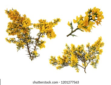 Gorse de Provence in bloom, on white background.