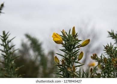 Gorse Flowers in Bloom in Winter