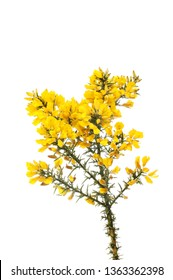 Gorse flowers and prickly foliage isolated against white