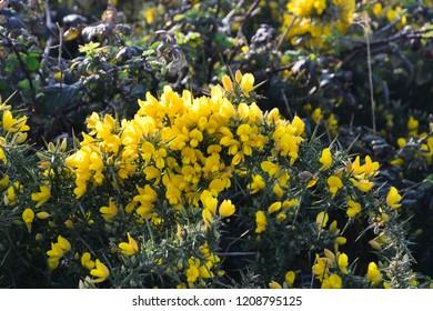 Gorse flowers - Ulex Europaeus , yellow flowers blooming near the sea