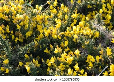Gorse flowers - Ulex Europaeus , yellow flower background