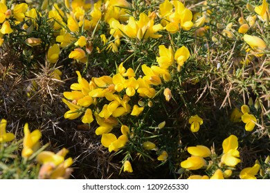 Gorse flowers - yellow flowers blooming , wild plants background