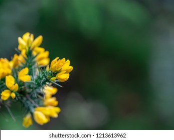 Gorse (Furze or Whin)- this must be most remarkable shrub in Ireland. Throughout the year, the rich yellow peaflowers seem to light up the Irish landscape