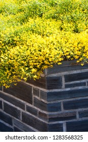 Gorse genista and wall