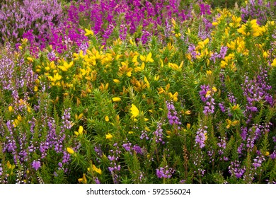 Gorse and heather providing a colourful carpet on the moor