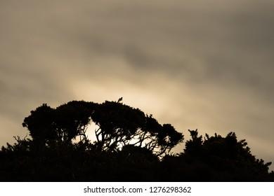 Gorse in silhouette