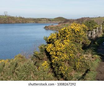 Gorse (Ulex europaeus) by the Side of Meldon Reservoir on Dartmoor National Park in Rural Devon, England, UK
