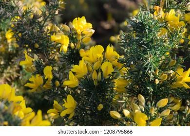 Gorse - Ulex Europaeus flowers , yellow flower blooming background