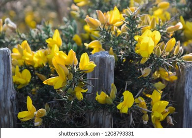 Gorse - yellow flowers blooming , wild plants background