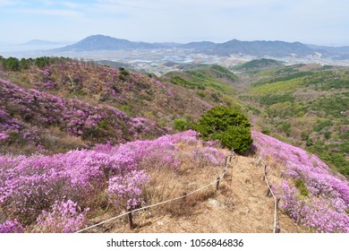 Goryeosan azalea festival, which is held at the end of April every year. Goryeosan is a highest mountain in Ganghwa island.