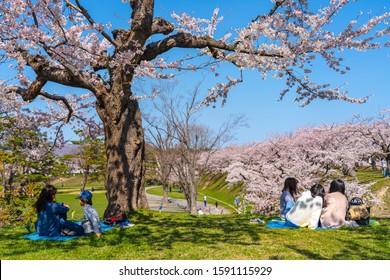Goryokaku star fort park in springtime cherry blossom full bloom season with clear blue sky sunny day, visitors enjoy the beautiful sakura flowers in Hakodate city, Hokkaido, Japan - April 29 2019