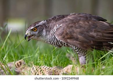 Goshawk (Accipiter gentilis) eating a pheasant