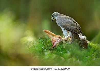 Goshawk, Accipiter gentilis, feeding on killed hare in the forest. Bird of Prey with fur catch in the habitat. Animal behaviour, wildlife scene from nature. Goshawk in the green vegetation.