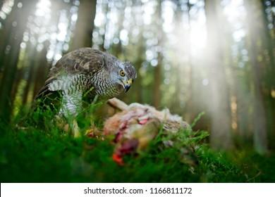 Goshawk, Accipiter gentilis, feeding on killed hare in the forest. Bird of Prey with blood fur catch in the habitat. Animal behaviour, wildlife scene from nature. Goshawk in the green vegetation.