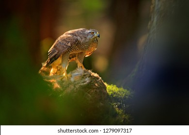 Goshawk, Accipiter gentilis, feeding on killed hare in the forest. Bird of Prey with fur catch in the nabitat. Animal behaviour, wildlife scene from nature. Goshawk in the green vegetation.