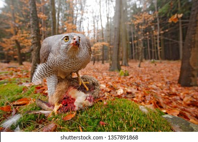 Goshawk, Accipiter gentilis, feeding on killed hare in the forest. Bird of Prey with fur catch in the habitat. Animal behaviour, wildlife scene from nature. Goshawk in the green Life in autumn forest.