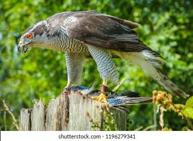Goshawk (Accipiter gentilis). Large bird of prey or raptor, this is a captive Goshawk perched on a fence post and feeding on a Jay.  Landscape. Horizontal.