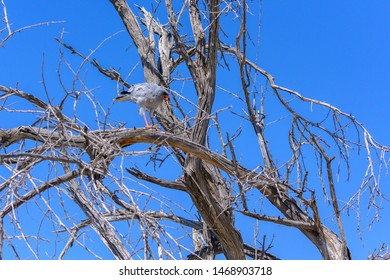 Goshawk in Etosha National Park