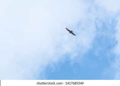 goshawk fliing under the sky
