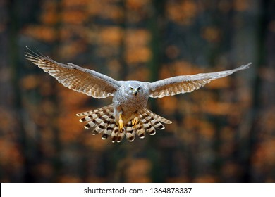 Goshawk flying, bird of prey with open wings with evening sun back light, nature forest habitat, Germany. Wildlife scene from autumn nature. Bird fly landing pn tree trunk in orange vegetation.