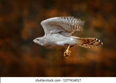 Goshawk flying, bird of prey with open wings with evening sun back light, nature forest habitat, Russia. Wildlife scene from autumn nature. Bird fly in orange forest vegetation, fall.
