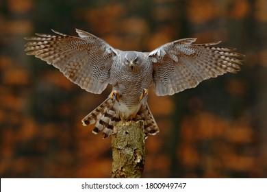 Goshawk flying, bird of prey with open wings with evening sun back light, nature forest habitat, Germany. Wildlife scene from autumn nature. Bird fly landing pn tree trunk in orange vegetation.