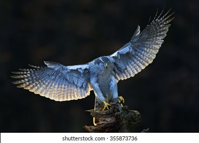 Goshawk, flying bird of prey with open wings with evening sun backlight, nature forest habitat in the background, landing on tree trunk, Norway.
