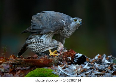 Goshawk with killed Common Pheasant on the moss in green forest, bird of prey in the nature habitat, Germany. Bird bahaviour, wildlife scene from nature.  Hawk predator with catch.