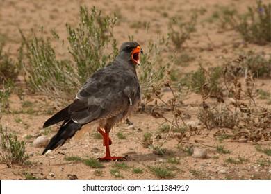 The goshawk (Melierax canorus) standing on the red hot sand in Kalahari desert. Open bill.