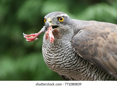 Goshawk with pigeon leg