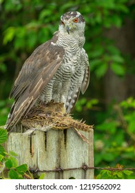 Goshawk (Scientific name: Accipiter gentilis). Large bird of prey or raptor, this is a captive Goshawk perched on a fence post and feeding on a partridge.  Vertical, Portrait