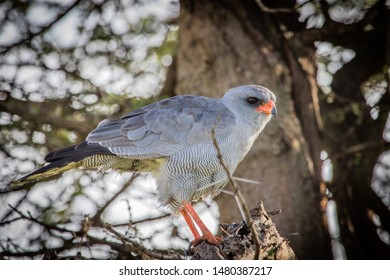 Goshawk sitting in a tree