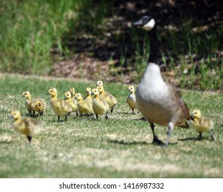 Gosling chicks following their mother