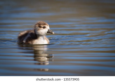 Gosling on the lake