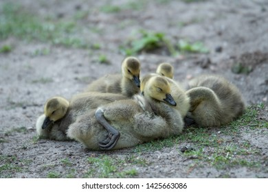 Goslings of the Canadian Goose variety in the Berlin Park Tiergarten