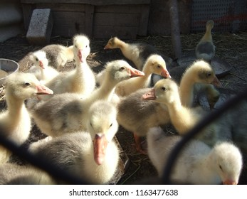 Goslings on a small gosling farm at the summer time